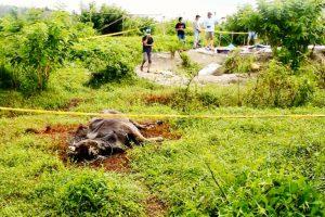 Sapi mati dengan kondisi bau busuk, di lokasi rendaman Dusun Wamsaid, Desa Dava, Kecamatan Wailata, Kabupaten Buru, Maluku. Foto: Nurdin Tubaka/ Mongabay Indonesia